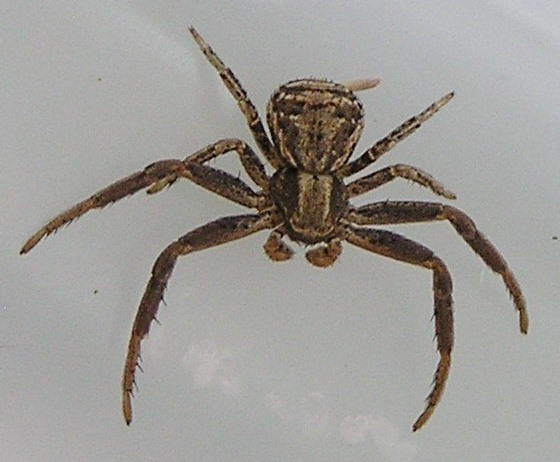 Brown Crab Spider 1 - male