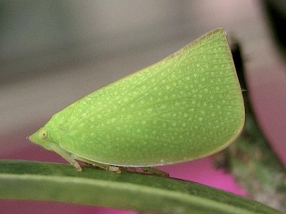 Day 130: adult - Siphanta acuta