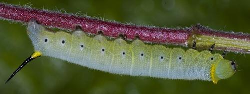 6013077 sphinx caterpillar - Hemaris diffinis