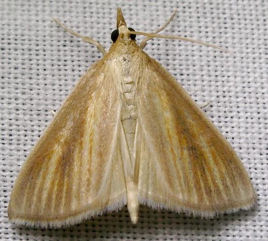 streaked orange - Nascia acutellus
