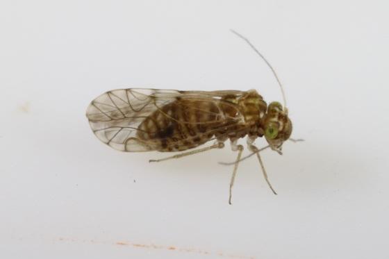 Lachesilla nita Sommerman - Lachesilla nita - female