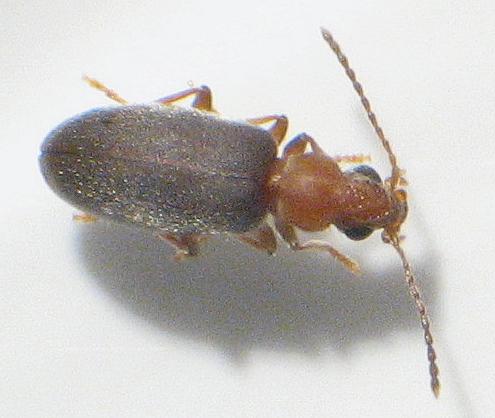 Notoxus murinipennis