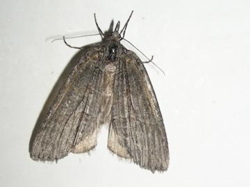 Moth# 07-01 - Cyclica frondaria