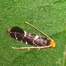 Micro Moth - Eudarcia eunitariaeella - male