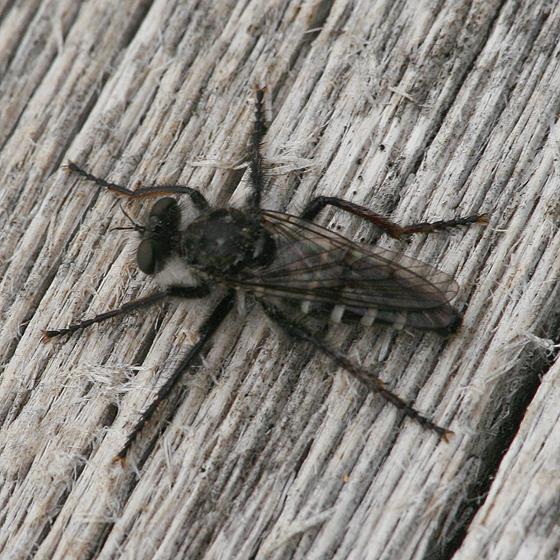 Asilidae - Cyrtopogon montanus - female