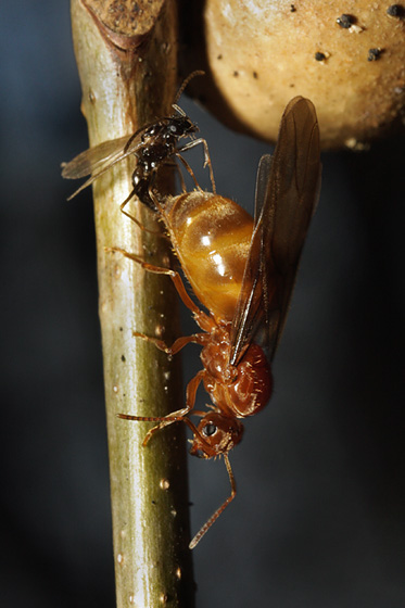ants mating - Prenolepis imparis - male - female