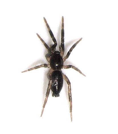 Tiny guy - Ground Spider? - male
