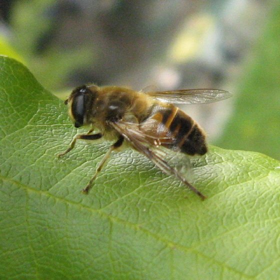 Syrphidae 03b - Eristalis tenax