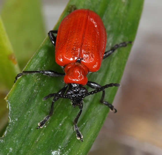 how to get rid of red lily leaf beetle