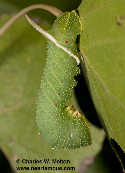 Larva Day 22 - Pachysphinx occidentalis