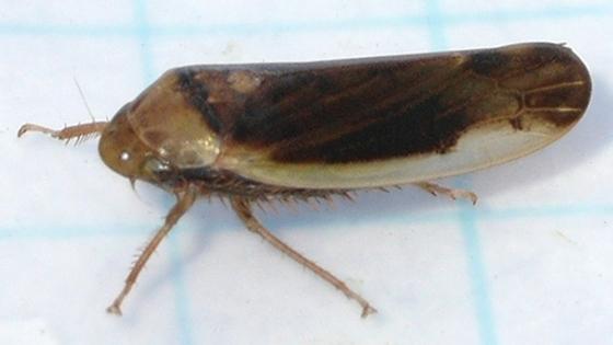 Leafhopper - Ponana limbatipennis