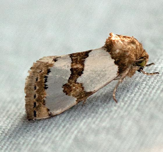 moth brown wht - Schinia chrysellus