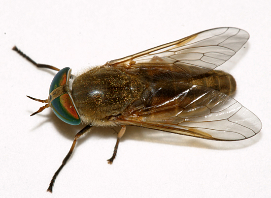 Greenhead Fly - Tabanus nigrovittatus - female