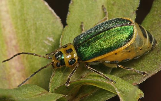 leaf beetle - Trirhabda flavolimbata - female