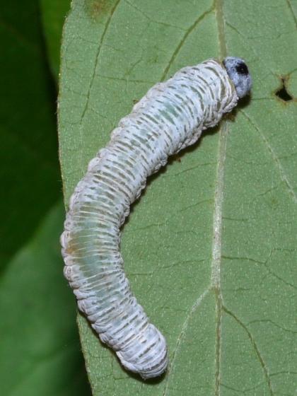 sawfly larva - June 23 - Macremphytus testaceus