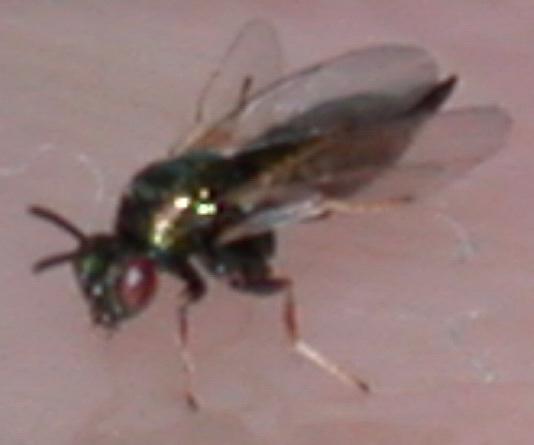 Chalcid from cynipid gall - Ormyrus - female
