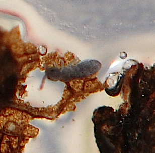 Elongate-bodied Springtail - Isotomidae