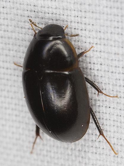 Hydrophilidae_1263 - Enochrus