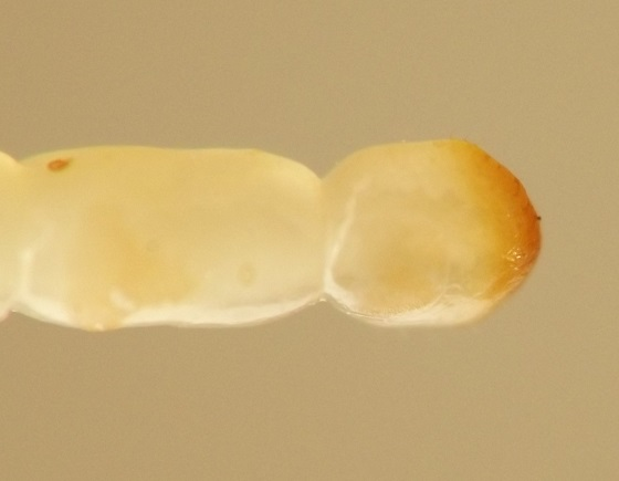 Wood-dwelling larvae - Dirrhagofarsus ernae