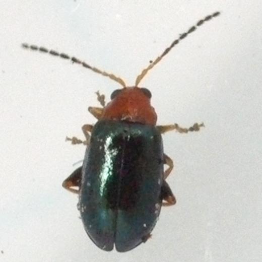 beetle - Palaeothona picta