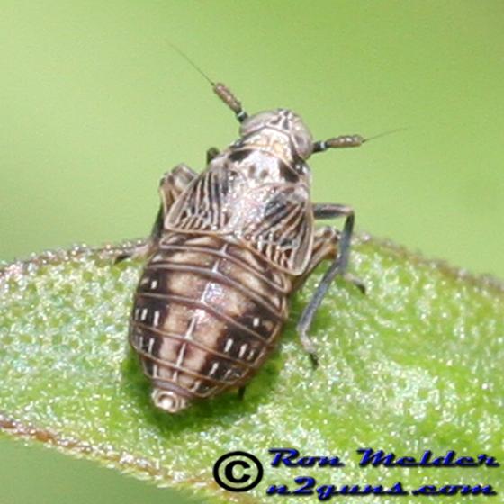 Planthopper - Pissonotus albovenosus - female