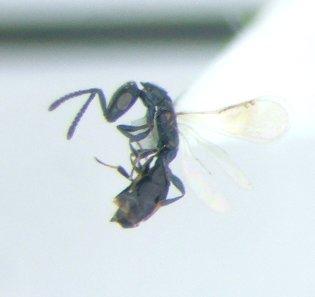 Small hymenopteran - Spalangia