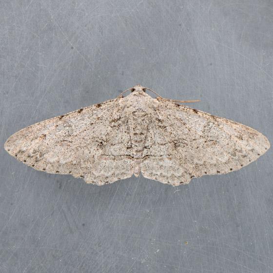 6585  - Iridopsis fragilaria - female
