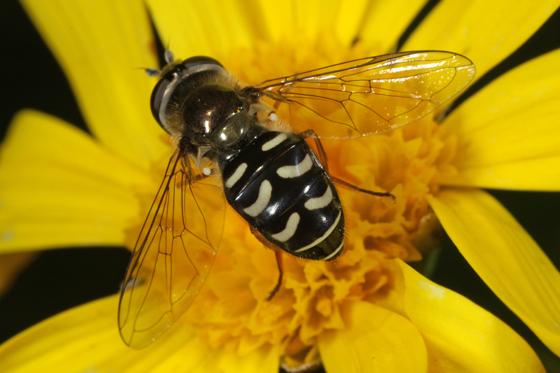Eupeodes volucris ?? - Eupeodes volucris - female