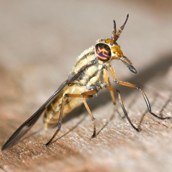 Deer Fly – Found on observation boardwalk at Saul Lake Bog in Michigan in the morning.