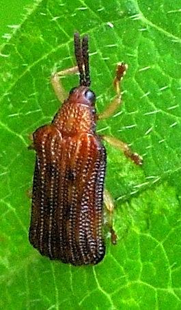 small beetle? - Baliosus nervosus