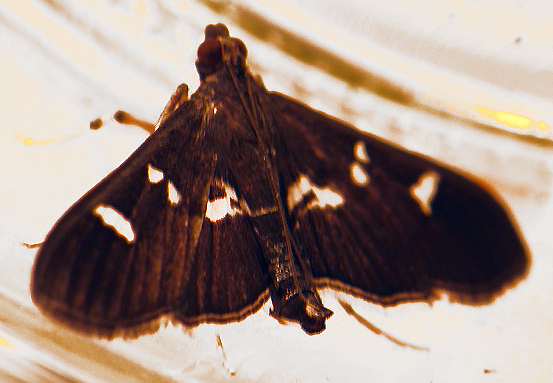small moth - Desmia