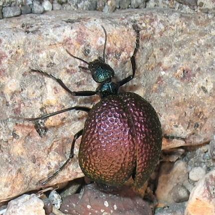 Blister Beetle, genus Cysteodemus - Cysteodemus wislizeni