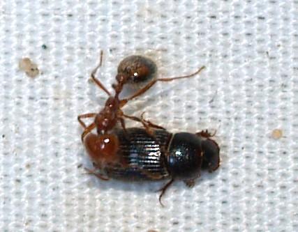 Aggressive small ants - Solenopsis xyloni