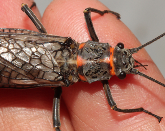 Plecoptera, Giant StoneflyX - Pteronarcys pictetii - female