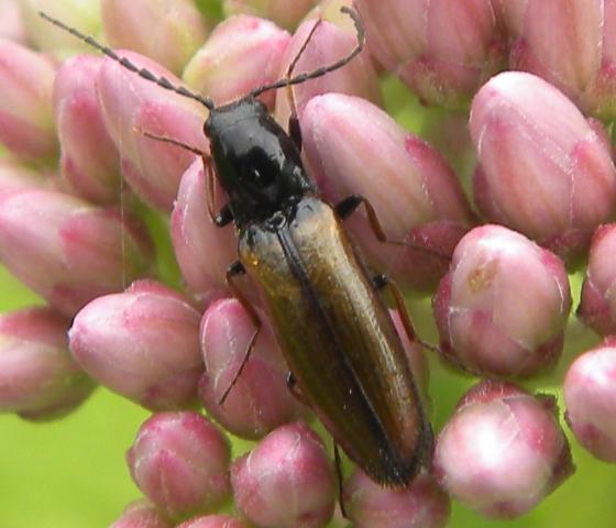 Beetle - Oestodes tenuicollis