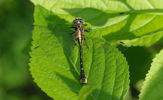 Unknown Yellow and Black Dragonfly - Hylogomphus geminatus - male