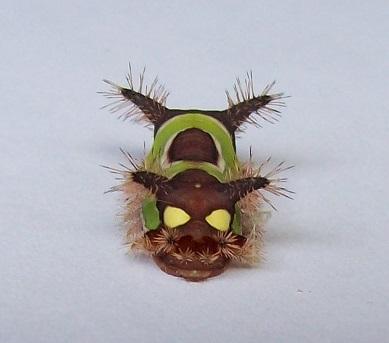 Unidentified creature - Acharia stimulea