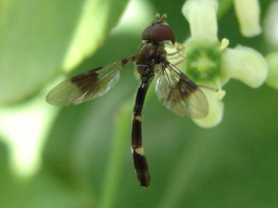 Syrphid - Ocyptamus fascipennis