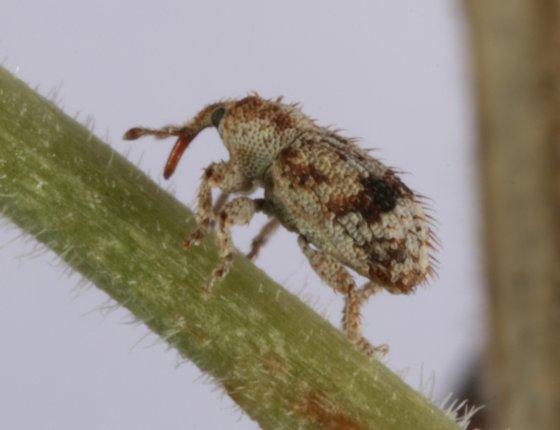 weevil 12 - Sibinia transversa