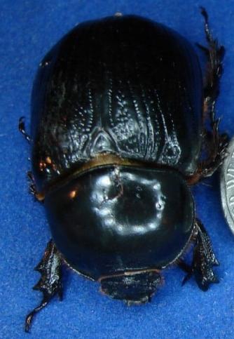 Big Beetles - Xyloryctes jamaicensis