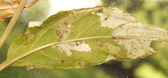 On fringed loosestrife - Nola cilicoides