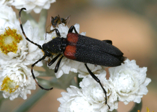 Long-horned beetle - Stictoleptura canadensis