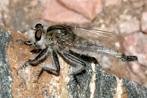 Robber Fly - Efferia benedicti - male