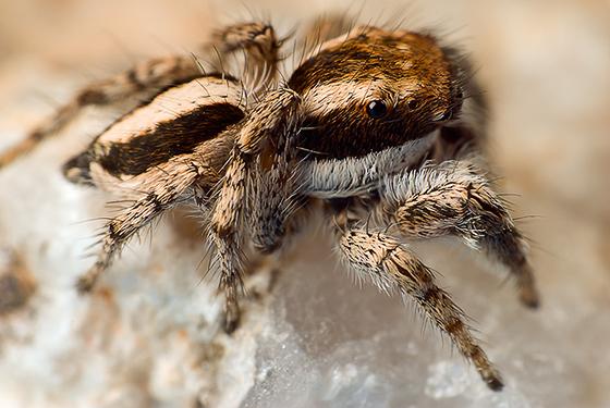 Salticidae - Habronattus conjunctus - male