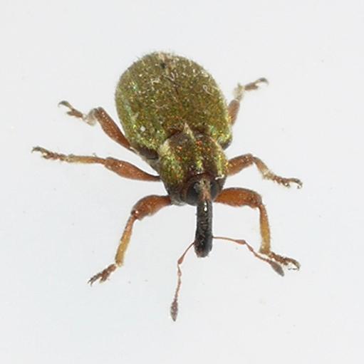 beetle - Hypera nigrirostris