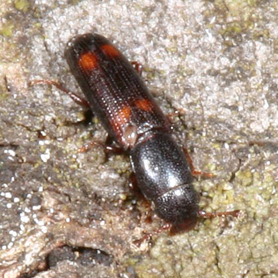 Root-eating Beetle - Rhizophagus sayi