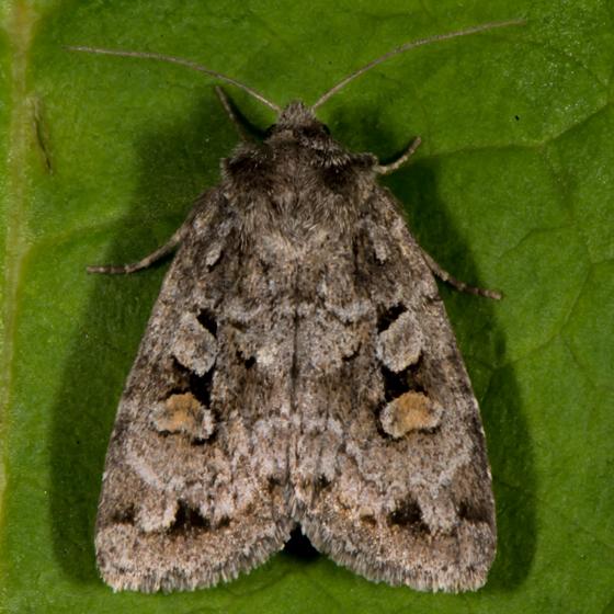 Unknown Moth - Xestia imperita