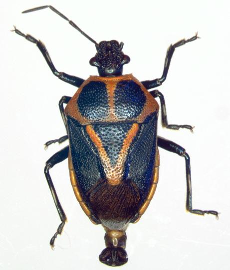 Pentatomidae, dorsal - Perillus strigipes