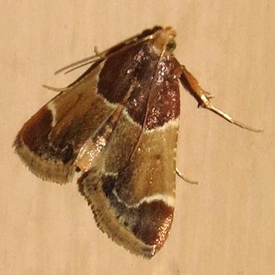 What Moth? - Pyralis farinalis
