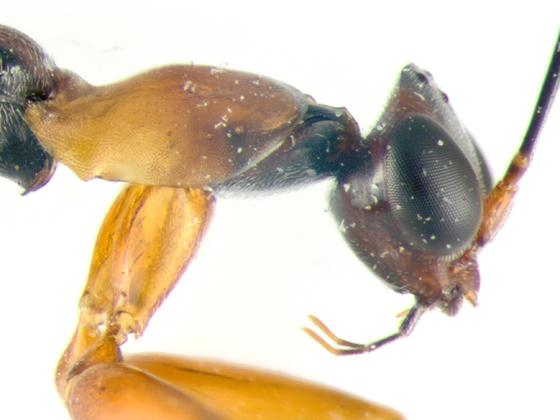 Dryinidae, head & prothorax - Dryinus alatus